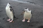 Chinstrap Penguins at Whalers Bay, Antarctica by Roger J. Wendell - 01-31-2011