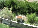 One of two birdbaths in our backyard - 05-31-2006