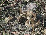 Rattlesnake 300 feet up from the house - 10-05-2002