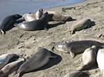 Elephant Seals at Piedras Blancas California by Roger J. Wendell - 11-14-2007