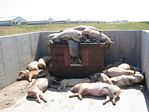 Dead Pigs on a Factory Farm