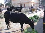 The Holy Cow is everywhere in India by Roger J. Wendell - November/December 2008