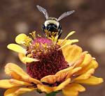 Bee on a flower by Randy Wendell, Virginia - August 2009