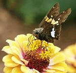 Butterfly on a flower by Randy Wendell, Virginia - August 2009