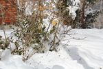 Bush with leaves through winter by Roger J. Wendell, 03-24-2013